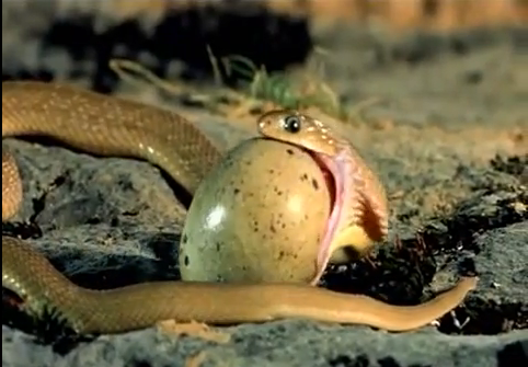 The Egg Eating Snake That Has Teeth Inside Its Body - Fact Fiend