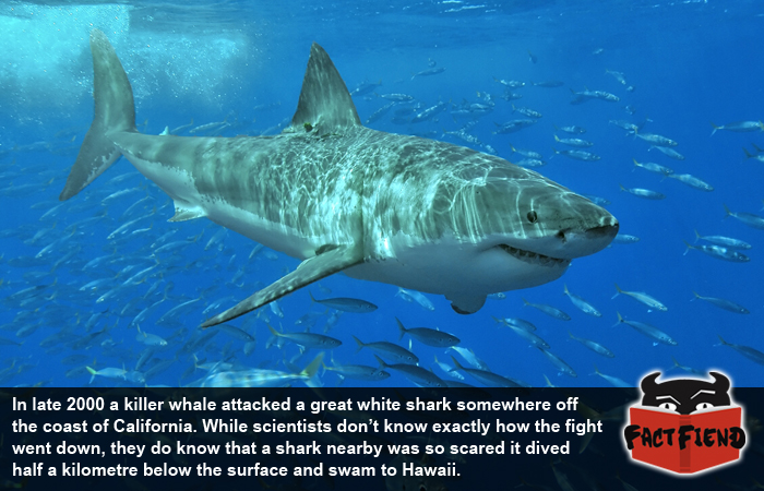 Great White Sharks Are Scared of Killer Whales - Fact Fiend